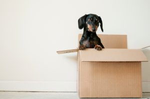 Black and brown dachshund in a moving box